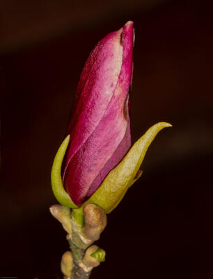 "Christopher Atkinson ""Magnolia Flower bud"""