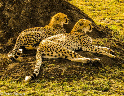 "Peter Brown ""Leopards in Kenya"""